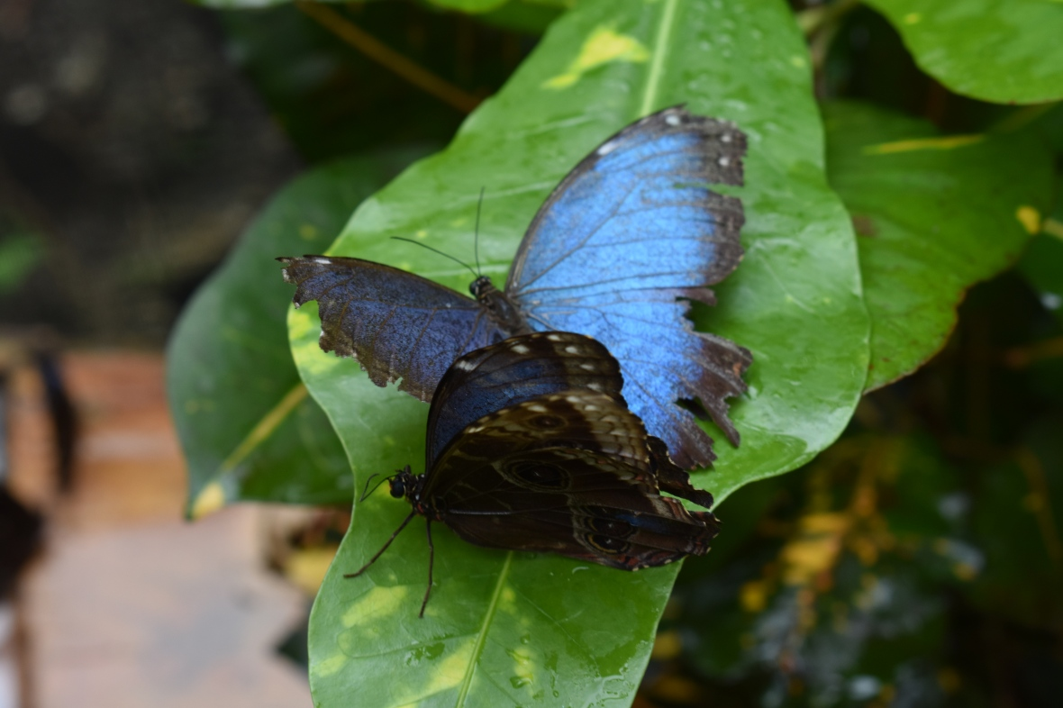 belize blue morpho butterflies Anja Farin LLC Arvigo practitioner midwife midwives healing transformation belize